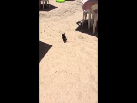 Really tiny chihuahua.