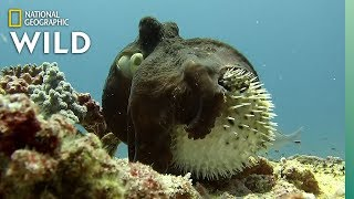 Unusual Octopus and Pufferfish Interaction - Rare Footage | Nat Geo Wild by Nat Geo WILD