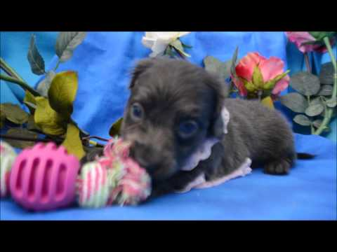 Lexie AKC Blue Eyed Solid Blue Female LH Miniature Dachshund Puppy for fale