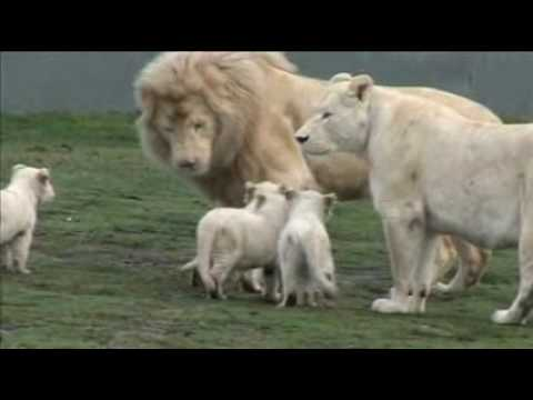 White Lion Cubs birth part 2 - starting to eat.