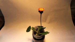 Flower Time Lapse