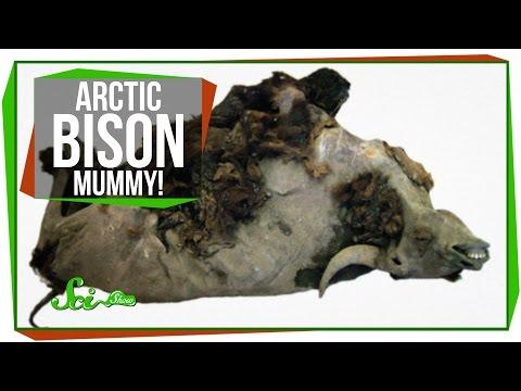 Arctic Bison Mummy!