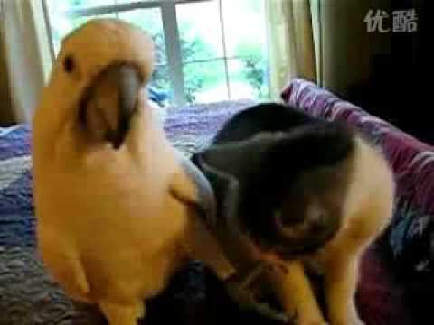 調戲小喵星人的鸚鵡