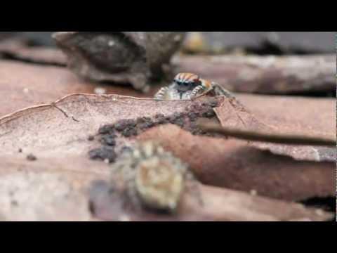 Pavouk, který se přátelí s pávem