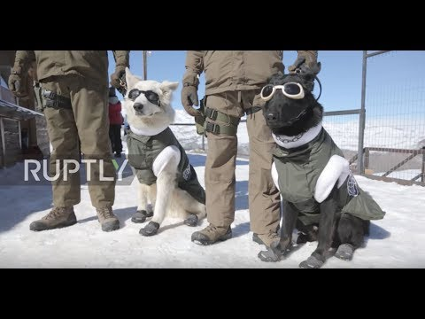 Police mountain patrol dogs gear up in winter gear to work on the slopes