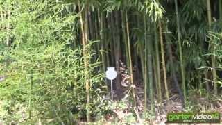 #1284 Phyllostachys aurea - Gelber Bambus - Goldbambus