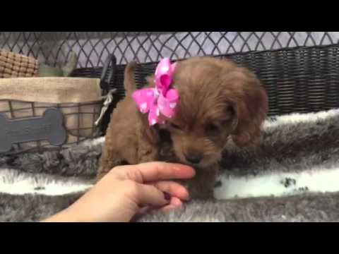 Vivacious & Beautiful Cavapoo puppy