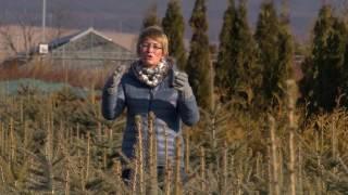 Fenyőfa termesztés, élő és vágott fenyőfák