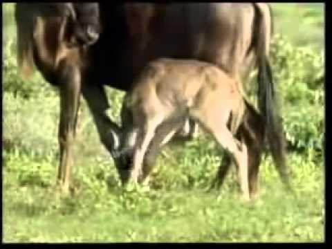 Animales salvajes procreando video search engine at - Videos animales salvajes apareandose ...