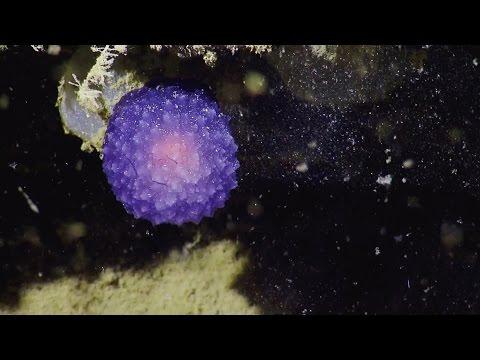 Wat is dit vreemde, paarse bolletje op de bodem van de oceaan?