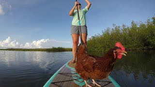 Paddleboarding Chicken Makes Waves in Fla.