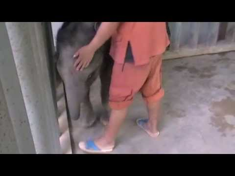 elephant - Baby Naka's mother tried to kill her so she can not nurse. Now Naka is fed goats milk, 28 liters a day. Donations are needed at FAE as feeding Naka costs aro...