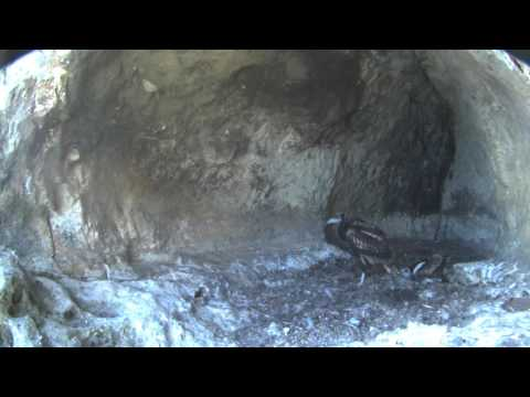 Butterfly in the nest - two juveniles in the Egyptian vultures' nest with the online video camera 2016