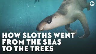 Video How Sloths Went From the Seas to the Trees MP3, 3GP, MP4, WEBM, AVI, FLV Juli 2019