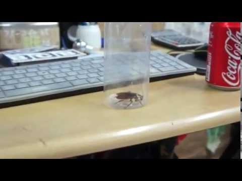 將蟑螂泡在可樂裏,會發生什麼事?會融化?