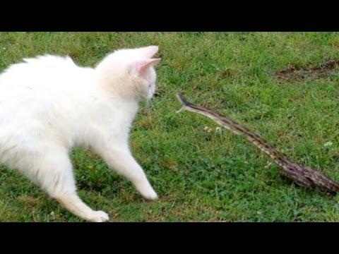 Khi mèo và rắn tỉ thí võ công