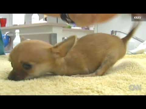 !!TWO-LEGGED CHIHUAHUA PUPPY DEFIES ODDS!!