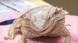Bearded Dragon Enjoys A Roach - Exotic Pet Vet