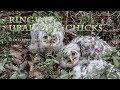 Ural owl attacks a bird ringer climbing to its nest hole