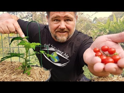 How to Maintain, Prune & Train Young Tomato Plants