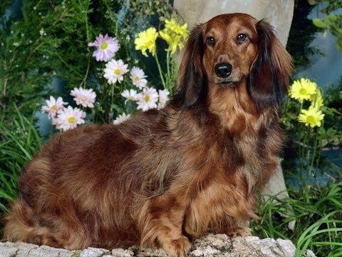 #654. Собаки (В мире животных) (видео)