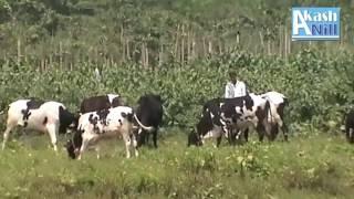 Cows Eating Grass At Shitolokkha River Side Near Munshiganj