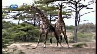Ajabu: A rare sight of giraffes fighting