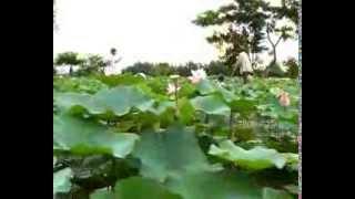 Hồn Quê Việt Nam: Tam Nông Mùa Chim Trời Lúa Nước, Lúa Ma
