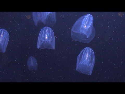 Οι μέδουσες μπορούν να «καθαρίσουν» τις θάλασσες από τα πλαστικά…