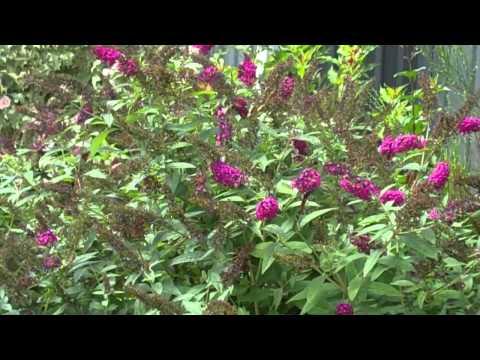 Miss Molly Buddleia - Butterfly bush