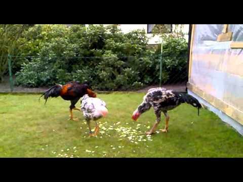 o sha mo - Ich verkaufe O Shamo Hühner, Bei intresse per e-mail melden Dani_3010@live.de.