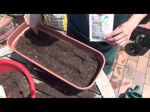 小カブ(タネ)の育て方・日常管理 その1 準備と種まき