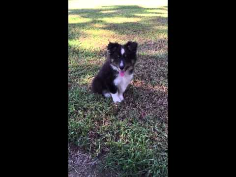 AKC tri colored male sheltie