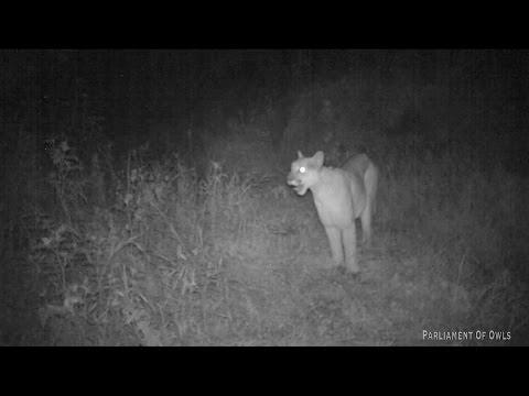 Mountain Lion screaming!!!