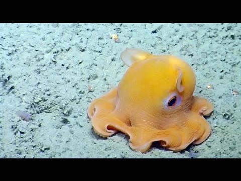 這群科學家在海底突然發現了一隻「小飛象章魚」,牠接下來的害羞舉動保證讓你心情好上一整個禮拜!