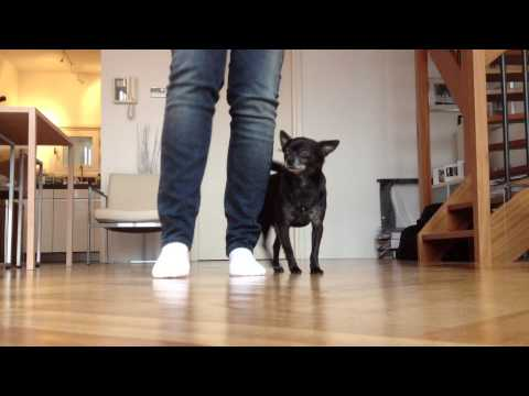 top 10 spettacolari tricks chihuahua!