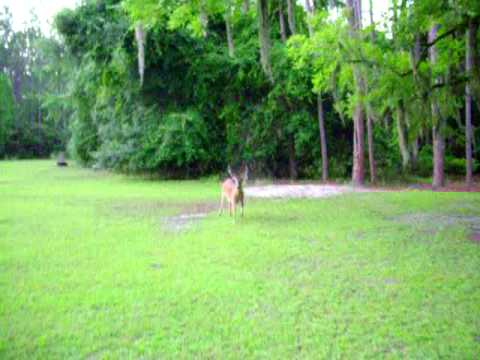 KOKO HERDING OUR WHITE TAIL DEER PART 1