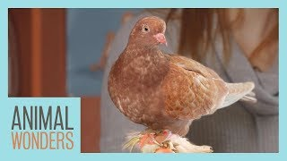 Pigeons: Underrated And Smarter Than You Think by Animal Wonders