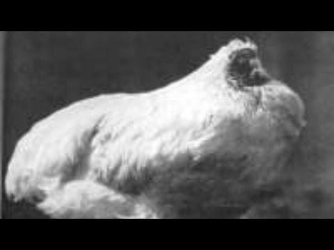أعماق العلوم - ح(29) - الديك المعجزة بدون رأس