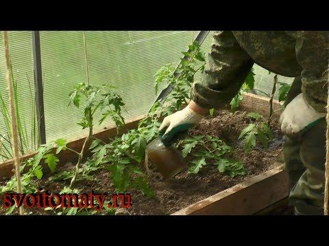 Первая подкормка томатов после высадки