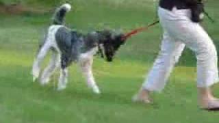 Elliot, Standard Poodle, Basic Training, July 2007