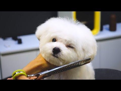 비숑 배냇미용 전체 가위컷 / pet dog bichon frise grooming - Thời lượng: 2 phút, 44 giây.