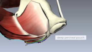 Pelvic Floor Part 2 - Perineal Membrane And Deep Perineal Pouch - 3D Anatomy Tutorial