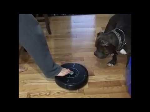 Tämä fiksu koira on oppinut sammuttamaan robotti-imurin