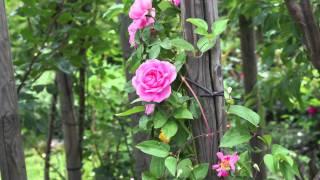 #416 Die englische Strauchrose Gertrude Jekyll