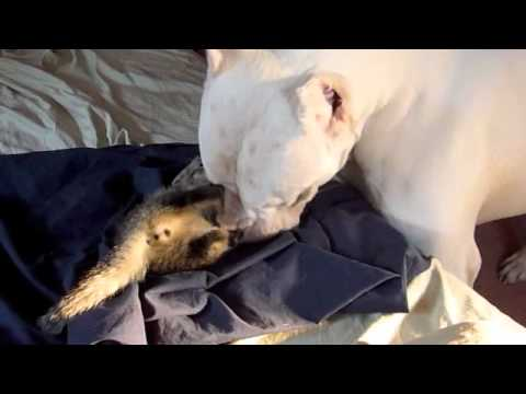 la pazienza del dogo argentino verso il suo piccolo amico