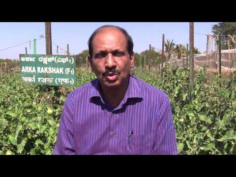 IIHR Tomato documentary on ARKA Rakshak