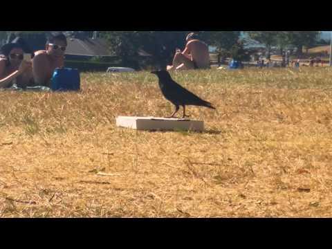 Crow vs Pizza Box