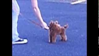 Red Toy Poodle Training -Kanogra Kennel- Zamora's Keep Walking Johnny Walker