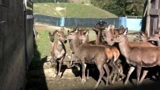 Deer Farming New Zealand